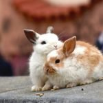 2 rabbits grooming each other