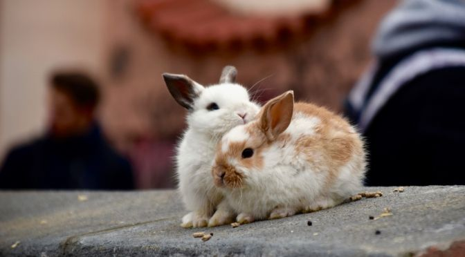 two rabbits grooming each other